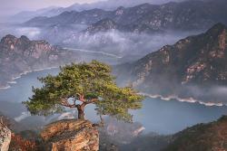 제비봉 소나무