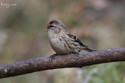 홍방울새 [Common Redpoll] 2019_3