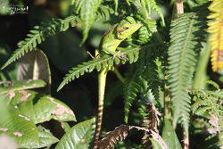 Black Lipped Green Lizard
