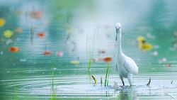 백로 White heron