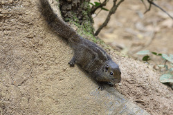 Dusky palm squirrel