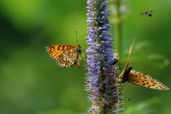 여름어리표범나비(백두산)