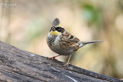 노랑턱멧새 [Yellow-throated Bunting]