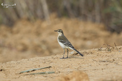 긴발톱할미새 [Eastern Yellow Wagtail]