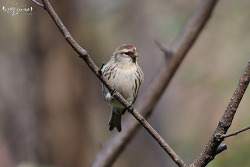 홍방울새 [Common Redpoll] 2019_1