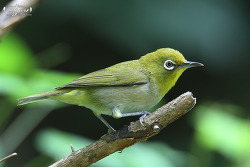 동박새 [Warbling White-eye]