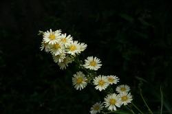 큰 씀바귀꽃