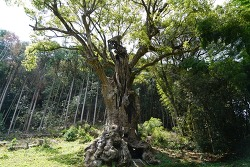 사가 타케오 여행 3천년 수령 녹나무 그 앞에 서니