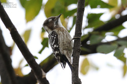 쇠딱다구리 [Japanese Pygmy Woodpecker]