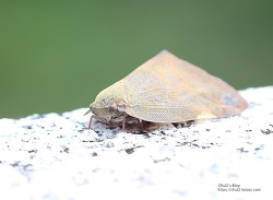 매미처럼 생긴 이 곤충의 이름은 뭘까?