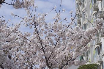 봄날 벚꽃구경 겸 안산시내 자전거 산책