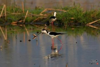 장다리물떼새의 먹이활동
