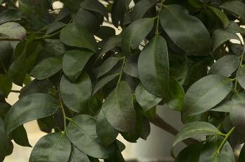 후피향나무와 비쭉이나무