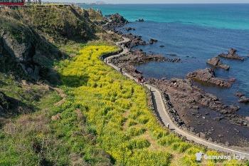 옥빛바다와 조화를 이룬 한담해변의 유채꽃밭