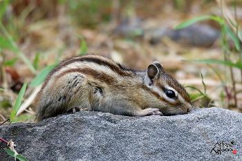 경주 옥산서원 다람쥐(2021.7.3)