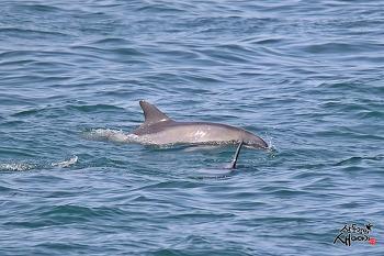 남방큰돌고래(제주도, 2021.4.10)