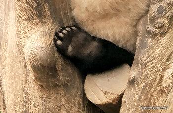 한국에서 태어난 첫 아기 판다의 곰발바닥을 보고 왔습니다.
