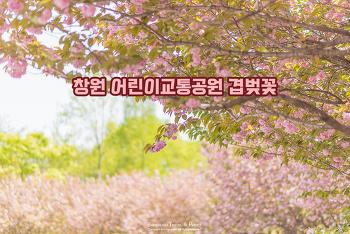 벚꽃엔딩? 만첩 꽃잎의 화려한 겹벚꽃은 이제 시작. 창원 겹벚꽃