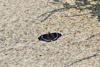 청띠신선나비