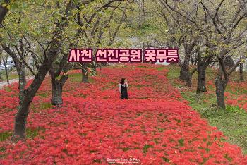 색이 예쁜 가을 여행 추천, 사천 선진공원 꽃무릇