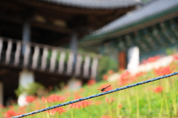 꽃무릇 핀 운수사