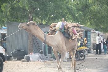 디파 시내의 유목민과 낙타의 모습