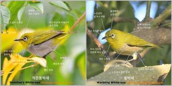 새로운 도전: 작은동박새[Swinhoe's White-eye] 찾기