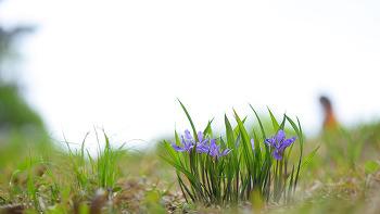 넓은잎각시붓꽃