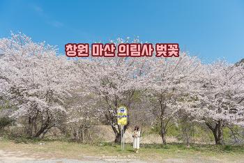 조용한 사찰 앞 너무 예쁜 벚꽃 버스 정류장, 마산 의림사