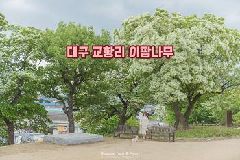 하얀색 향기로운 꽃이 나무 위에 가득, 교항리 이팝나무
