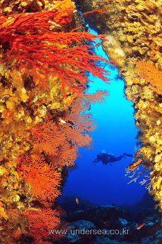 울릉도 쌍정초 뿔산호 크랙