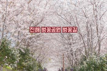 올해 만난 내 최고의 벚꽃 길, 끝없이 이어지는 벚꽃 터널
