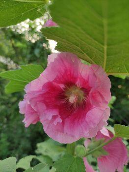 여름의 접시꽃