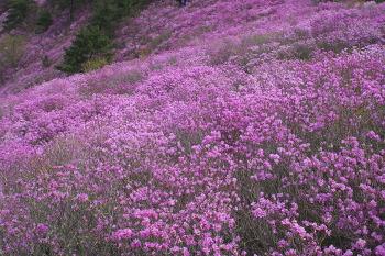 [86번째 산행] 분홍빛 진달래로 뒤덮인 천주산