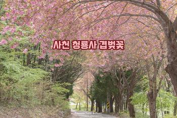 사찰 앞 분홍색 예쁜 겹벚꽃 꽃길, 사천 청룡사 겹벚꽃