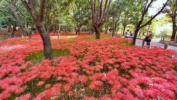 중앙공원 꽃무릇(2021)