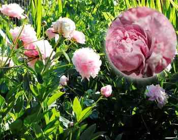6월~7월초, 큰 꽃들의 향연, 모란, 양귀비...