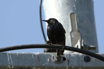 흰점찌르레기 [Common Starling]