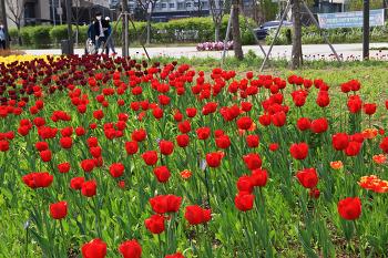 수선화와 튤립과 무스카리 꽃구경(서울식물원)/20210411