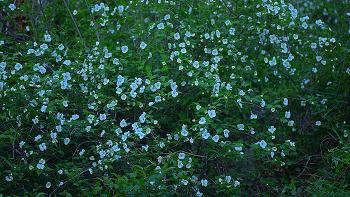 병아리꽃나무
