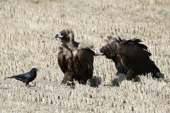 독수리 [Cinereous Vulture]
