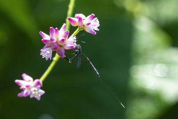 곤봉호리벌