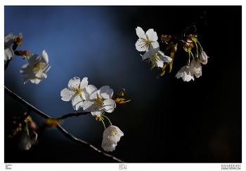 고양시 덕양구 원흥동 / 동네 뒷산 / 벚꽃 / 진달래 / 봄꽃