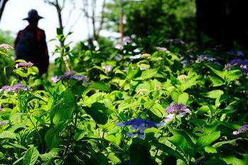 수국의 꽃말