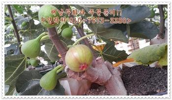 땅끝마을 해남에서 판매하는 무화과 주문! 달콤한 무화과 판매중~!