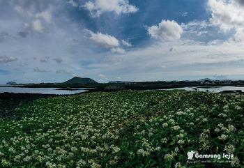 온 섬이 하얀 꽃으로 뒤덮인 이곳, 제주 토끼섬