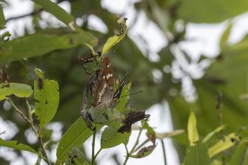황오색나비