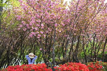 벚꽃엔딩? 이제는 창원 어린이교통공원 겹벚꽃! (창원명소)