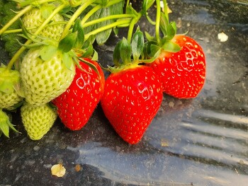 청주 맛있는 딸기농장 - 두모리 왕대박딸기