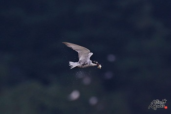 구레나룻제비갈매기의 물고기 사냥
